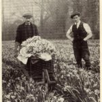 Photograph showing men collecting picked daffodils from a field in Cornwall in a wheel barrow in the 1930s - 1940s.
